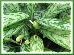 Aglaonema nitidum 'Silver Queen' with flowers