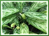 Aglaonema nitidum 'Silver Queen' (Chinese Evergreen)