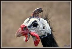 Fowl portrait