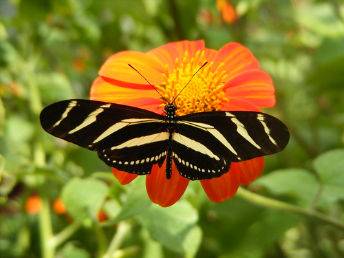 Zebra Butterfly- Costa Rica