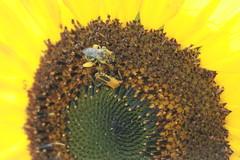 IMG_5453 (Blackavar Lion) Tags: flowers sun flower nature fleur beautiful insect colorful pretty bright blossom bokeh flor bee bloom lovely  blume abeja insekt tournesol abeille girasol bij insecte biene  bloem sonnenblume zonnebloem insecto hymenoptera         apoidea   canonrebelxti  anthophila  2be2176f59cfac7c3f99b44a73b29c9b