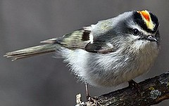 Golden Crown Kinglet (David C Burnett) Tags: manitoba naturelover naturegroup naturesfinest natureclub avianphotography wowiekazowie freenature naturewatcher floraandfaunaoftheworld naturethroughthelens