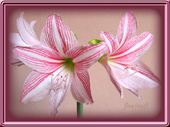 Hippeastrum reticulatum var. striatifolium 'Mrs. Garfield' in our garden. Click to view large