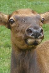 yeeeeeeeeeeeeeees? (baltic_86 (mostly off)) Tags: usa beautiful animal closeup searchthebest deer fabulous sarna instantfave abigfave lmaoanimalphotoaward betterthangood baltic86