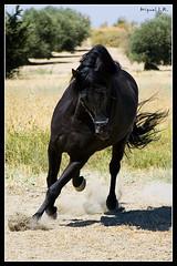 Caballo Espaol (Miguel J.R.) Tags: horse caballo nikon negro spanish espaol galope d40 chamberi a3b