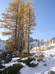 Stand of Larch below Wing Lake