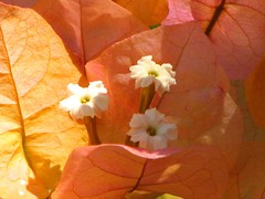 Bouganvilleas ( Graa Vargas ) Tags: orange flower macro primavera bougainvillea explore buganvilia interestingness132 i500 graavargas 2008graavargasallrightsreserved 44620270910