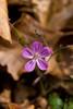 Fiorellino del Bosco Vecchio - Little Ancient Wood Flower (Selina Zampedri) Tags: mountain flower macro fiore montagna bosco cansiglio naturesfinest sottobosco chicècè macromarvels awesomeblossoms