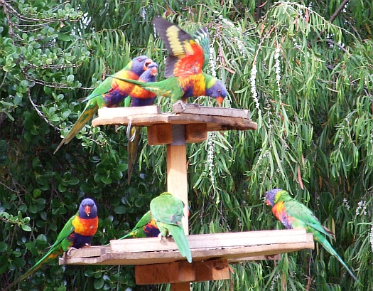 rainbow lorikeets in action 05