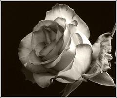 I'm sorry (kubse) Tags: old autumn bw rose uc fabulous soe blackdiamond blueribbonwinner flowerotica mywinners abigfave platinumphoto bwphotoaward oldschooldigital theunforgettablepictures damniwishidtakenthat magicdonkeysbest ysplixblack
