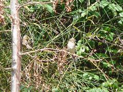 Bruant zizi (Emberiza cirlus) (Le No) Tags: bird 31 oiseau hautegaronne cirlbunting emberizacirlus stlon bruantzizi passriformes emberizids aot2008