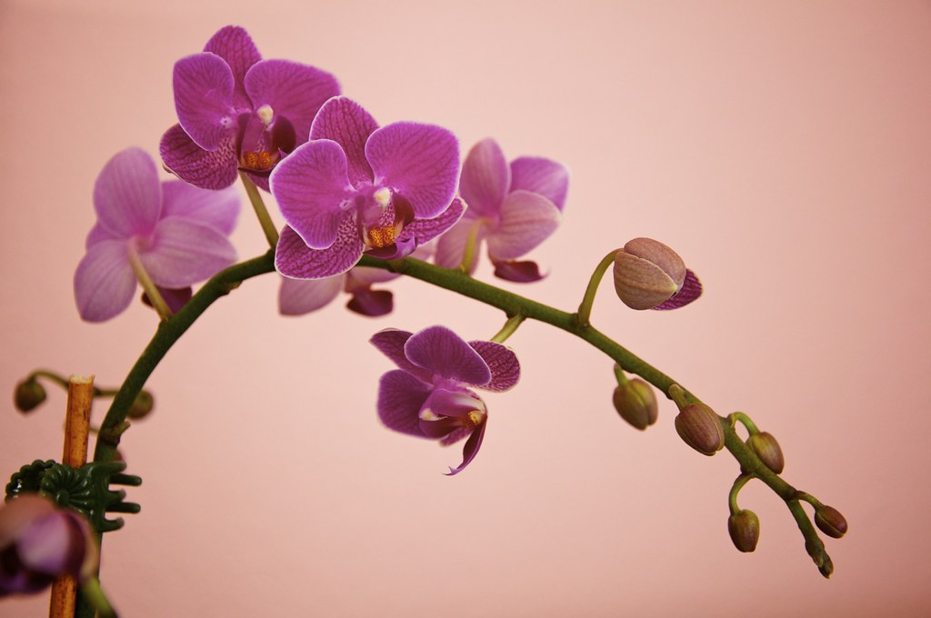 Orchid Blooms & Buds.