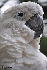 portrait: the cuckatoo... (docjabagat) Tags: bird eyes feathers cockatoo cuckatoo naturelovers whitecuckatoo