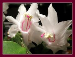 Christmas Cactus Plant (Hammer51012) Tags: christmas pink flowers cactus white plant flower olympus 2008 zygocactus sp570uz