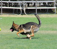 Hazel Mid Turn (cwgoodroe) Tags: dog color wet santabarbara tongue closeup puppy shepherd watching guard working ears canine running run german hazel stick chew gnaw attention ran trot hazelnut ucsb guarding k9 4thjuly riesling observant gsd beachdog cutepuppy alet sephard lacrossedog germanshepherdeyes