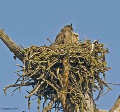 Mom & Owlet (jimgspokane) Tags: birds owls birdsofprey birdwatcher greathornedowls onlythebestare excapture thewonderfulworldofbirds