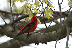 May 13th Scarlet Tanager (violetflm) Tags: red bird native d2x il scarlettanager tanager may13th edim rollinssavanna cf37215