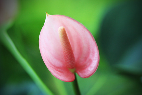 Anthurium by kayaker1204