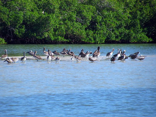 IMG_5696-Estero-Bay-brown-pelican-flock