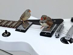 From Hear to Ear (Read2me) Tags: finch bird two guitar instrument sound music cellphone herowinner thechallengefactory pregamewinner superherochallengewinner friendlychallenges gamesweepwinner twothumbsup thumbsupunanimous challengeyouwinner storybookwinner storybookchallengegroupotr gamex2sweepwinner favescontestwinner x2 gamex3winner x3 yourockwinner challengeclubwinner agcgwinner ultraherowinner agcgsweepswinner agcgcrèmedelacrèmewinner 12e