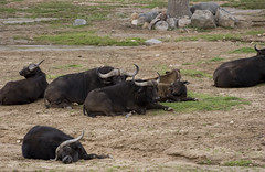 Cape Buffalo (PGraphx) Tags: california sandiego wildanimalpark capebuffalo