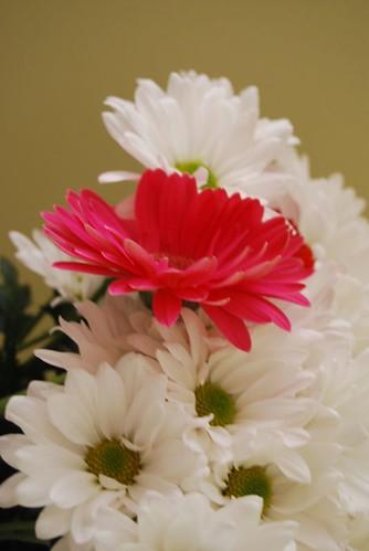 pink gerbera DSC_5284