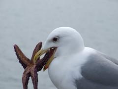 Biting off.... (Siever Sand) Tags: yum starfish seagull platinumphoto