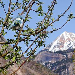 An Early Mother's Day Visitor :-D (janoid) Tags: mountains utah alpine xo springtime appleblossoms xoxoxox saturdaysilliness whocouldaskformore yourthebest manquelitoishere xxoxoxoxoxox janoidmagic alpinusbluejayresmus igotmysecondbirdshot happymothersdayeve