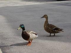 ducks 05.16.08 014