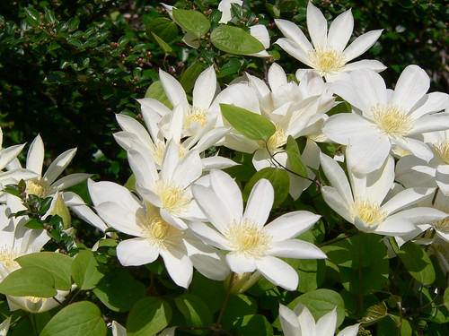 White_Clematis by fdr2164.