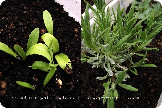 Calendula & Edelweiss Lavender