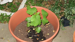 Okra Plant Planted One Okra Plant in a