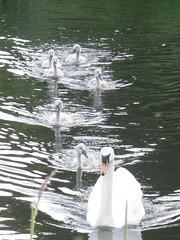 Cygnets & Pen swan, leisure centre Carrick (billpolley) Tags: cygnets muteswans carrickfergus