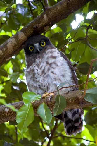 pictures of brown hawk owl youtube