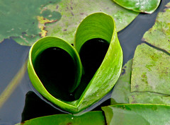 Green Heart (ash2276) Tags: park toronto ontario canada green leave love beach nature water leaves june river rouge leaf lily heart shaped ashley hill pad can coeur vert valentine swamp scarborough marsh shape valentinesday heartshaped pads  pickering on scarboro natureinthecity ald greenheart photosho supershot torontophotographer mywinners ash2276 aplusphoto coeurvert ash2275 ashleyduffus cmwdgreen picturefantastic loveshape cmwdweeklywinner ashleysphotography heartshapedlilypad vertcoeur ald davidsuzuk ashleysphotographycom ashleysphotoscom ashleylduffus wwwashleysphotoscom