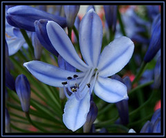 Blue Beauty (karin_b1966) Tags: plant flower macro nature blossom natur pflanze flowerthemes agapanthus blume makro blüte naturephotography beautifulearth beautifullife foreveryone flowerphotography flowerotica flowerlovers flickrflowrpowr thebeautyinlife 1plantsworld beautyofthenatureworld photonow ~ilovenature~ beautifulwintersummerworld girlfriendsgarden blaueschmucklilie