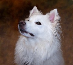 Niko Portrait (utski7) Tags: portrait dog pet baby white beautiful animal puppy sweet adorable fluffy hund american haustier eskimo furr eskie iluvmydog chewedonlooksuitsme