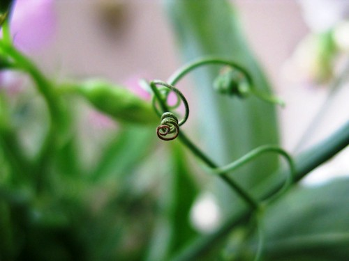 Pea Tendril