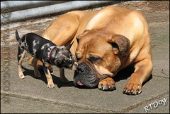 I Love You Breeze (Artydog) Tags: chihuahua puppy breeze merle barty artydog bullmastiffdog merlechihuahuapuppy