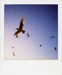 . (Rebecca...) Tags: uk blue summer sky seagulls film birds polaroid sx70 evening cornwall flock newquay 600 packfilter