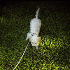 Grass is good (Graustark) Tags: dog film grass 35mm puppy texas houston halfframe kodakportra160vc dinky dailywalk agat18 ratapoo ratterrierpoodlemix