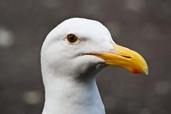 Seagull (chrismar) Tags: sanfrancisco california bird delete10 canon delete9 delete5 350d rebel xt delete2 delete6 delete7 seagull july delete8 delete3 delete delete4 save save2 2008 dmu sigma70300mm
