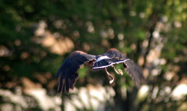 072408_harris_hawk_flying