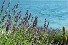 Lavender & lake (koalie) Tags: lake water lavender verdon lacdesaintecroix