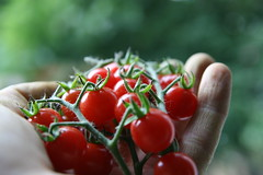 [Free Image] Food/Drink, Vegetable, Tomato, Hand, 201102181700