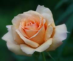 Oregold (lynne_b) Tags: flower nature rose garden illinois flora rosa fragrant bloom mygarden inmygarden explored oregold