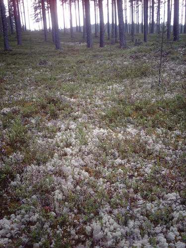 White reindeer moss