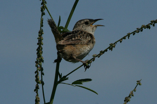 Sedge Wren - Photo #4,000