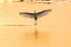 1065 aletear en agua (johnr84740) Tags: egret morning golden bird mexico aletear manzanilla colima