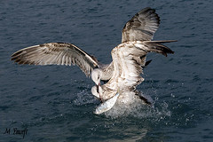 conflict (m_yousefi) Tags: sea bird conflict